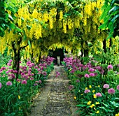 THE LABURNUM ARCH WITH ALLIUM PURPLE SENSATION AT BARNSLEY HOUSE  GLOUCESTERSHIRE