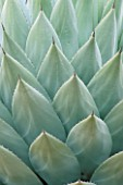CLOSE-UP OF AGAVE PARRYI LEAVES AT THE HUNTINGTON BOTANICAL GARDENS  LOS ANGELES  CALIFORNIA.