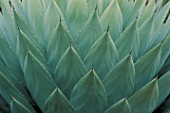 CLOSE-UP OF AGAVE PARRYI LEAVES AT THE HUNTINGTON BOTANICAL GARDENS  LOS ANGELES  CALIFORNIA./NEW SHOOTS