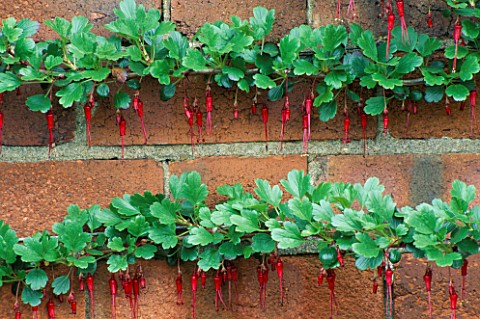 HORIZONTAL_LINES_OF_RIBES_SPECIOSUM_GROWING_AGAINST_A_BRICK_WALL