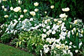 TULIPS (L TO R) MOUNT TACOMA WHITE DREAM & PURISSIMA WITH HOSTAS & VIOLAS IN WHITE GARDEN AT CHENIES MANOR BUCKS