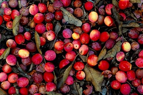 PINK_FRUITS_OF_MALUS_TORINGOIDES_VAR_MACROCARPA