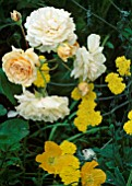 HYBRID MUSK ROSA BUFF BEAUTY  PAPAVER CAMBRICA (WELSH POPPY) & ACHILLEA MOONSHINE. ASHTREE COTTAGE  WILTS.
