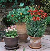 GROUP OF POTS CONTAINING MIXED NASTURTIUMS  ORIENTAL LILY RED JEWEL & NICOTIANA.  MRS DYMOCK  STREATLEY
