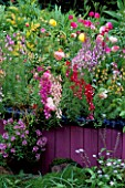 FAIRGROUND COLOURS OF LINARIA RANUNCULUS & NEMESIA IN A RAISED BED. DESIGNER: KEEYLA MEADOWS  SAN FRANCISCO