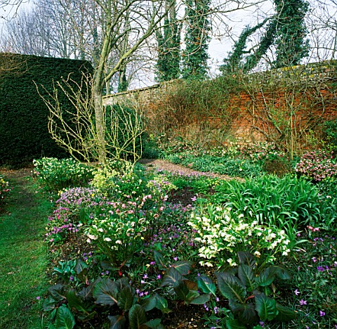 HELLEBORES_BESIDE_GRAVEL_PATH_AT_THE_OLD_RECTORY__BURGHFIELD__BERKSHIRE