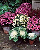 CHRYSANTHEMUMS & ORNAMENTAL CABBAGES GROUPED IN TERRACOTTA CONTAINERS IN MRS ADAMS LONDON GARDEN/DESIGN ANTHONY NOEL