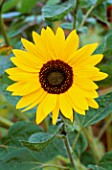 SUNFLOWER (HELIANTHUS ANNUS) HADSPEN HOUSE  SOMERSET