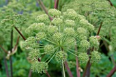 CLOSE-UP OF ANGELICA ARCHANGELICA FLOWER. HADSPEN GARDENS  SOMERSET.