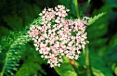 PIMPINELLA MAJOR ROSEA (UMBELLIFER). HADSPEN GARDEN  SOMERSET
