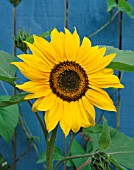 HELIANTHUS ANNUS TITAN AGAINST A BLUE FENCE