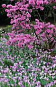 RHODODENDRON PRAECOX AND CROCUS TOMMASINIANUS