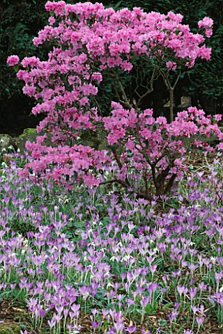 RHODODENDRON_PRAECOX_AND_CROCUS_TOMMASINIANUS