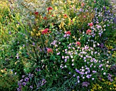 WILDFLOWER BORDER: SEA BUCKTHORN  SEDUM ACRE  CAMPANULA ROTUNDIFOLIA  RED VALERIAN  LINARIA VULGARIS  VERONICA SPICATA  WILD THYME. DESIGNER: JULIE TOLL