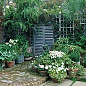 SMALL TOWN GARDEN: FALSE FRENCH SHUTTERS ON WALL WITH TRELLIS AND POTS OF WHITE BEGONIAS LILIES HOSTAS VIOLAS AND ARGYRANTHEMUMS. DESIGNER: JEAN BIRD