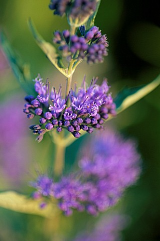 CARYOPTERIS_X_CLANDONENSIS_HEAVENLY_BLUE
