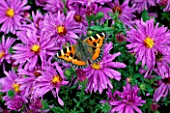 SMALL TORTOISESHELL BUTTERFLY ON ASTER NOVI-BELGII ALDERMAN VOKES