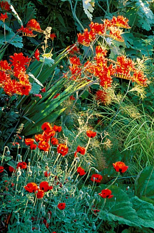 SECTION_OF_RED_BORDER_WITH_CROCOSMIA_LUCIFER_AND_PAPAVER_COMMUTATUM_LADYBIRD_SWINTON_LANE__WORCS