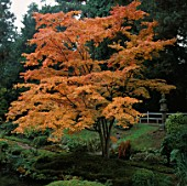 A BRILLIANTLY COLOURED JAPANESE MAPLE IN THE JAPANESE GARDEN AT TATTON PARK IN CHESHIRE.