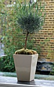 TINY STANDARD LAVENDER BUSH GROWS IN SQUARE CONTAINER ON LEADED WINDOW SILL IN DESIGNER STEPHEN WOODHAMS OWN GARDEN.