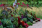 BORDER OF RED  WINE AND PLUM: SALVIA VICTORIA  AMARANTHUS HYPOCHONDRIACUS PYGMY TORCH  BRASSICA OLEARICA RED FEATHER  ALTERNANTHERA FICOIDEA  CLEOME VIOLET QUEEN  RICINUS