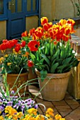GOLD PAINTED POT WITH TULIP FIRE QUEEN AND TERRACOTTA POT PLANTED WITH TULIP APELDOORN ELITE.