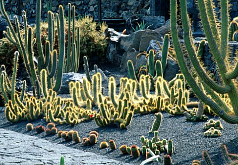 BACKLIT_TRICHOCEREUS_HUASCHA_CACTUS_IN_THE_JARDIN_DE_CACTUS__LANZAROTE__CANARY_ISLANDS