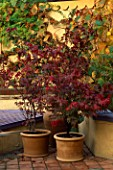 THREE JAPANESE MAPLES IN TERRACOTTA CONTAINERS: 2 ARE ACER PALMATUM ATROPURPUREUM AND AT THE FRONT IS ACER PALMATUM OSAKAZUKI. BEHIND IS VITIS COIGNETIAE ON THE WALL