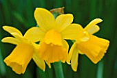 DETAIL OF YELLOW HEADS OF NARCISSUS TETE-A-TETE