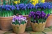 TERRACOTTA SPRING CONTAINERS WITH CROCUS TOMMASINIANUS WHITEWELL PURPLE AND CROCUS FLOWER RECORD WITH IRIS HARMONY  BEHIND