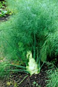 FLORENCE FENNEL