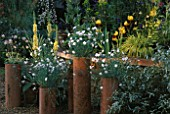 TALL TERRACOTTA POTS CONTAINING WHITE DIANTHUS IN FRONT OF YELLOW VERBASCUM  IRISES AND HAKONECHLOA MACRA AUREOLA.  CHELSEA 1999.