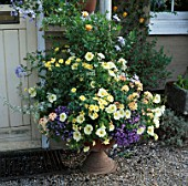 CONTAINER BESIDE FRONT DOOR FILLED WITH VERBENA PEACHES AND CREAM  PETUNIA  PLUMBAGO AND ARGYRANTHEMUM JAMAICA PRIMROSE. JENNY JOWETTS GARDEN