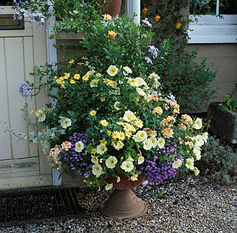 CONTAINER_BESIDE_FRONT_DOOR_FILLED_WITH_VERBENA_PEACHES_AND_CREAM__PETUNIA__PLUMBAGO_AND_ARGYRANTHEM