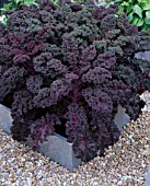 SQUARE GALVANIZED STEEL CONTAINER PLANTED WITH PURPLE KALE REDBOR ON A GRAVEL FLOOR. THE CHEFS ROOF GARDEN  CHELSEA 1999.