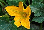 CLOSE UP OF YELLOW FLOWER OF THE COURGETTE. THE CHEFS ROOF GARDEN  CHELSEA 1999.