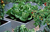 SQUARE GALVANIZED STEEL CONTAINERS PLANTED WITH CABBAGE JANUARY KING  AND TOMATOES. THE CHEFS ROOF GARDEN  CHELSEA 1999.
