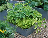 GALVANIZED STEEL CONTAINERS PLANTED WITH CELERY GOLDEN BLANCHING  ORIGANUM AND FLOWERING COURGETTES. THE CHEFS ROOF GARDEN  CHELSEA 1999.