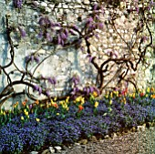 WISTERIA  FORGET-ME-NOTS AND TULIP GEORGETTE AT THE VILLA CARLOTTA  LAKE COMO  ITALY