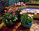 TURQUOISE CONTAINERS PLANTED WITH VIOLAS AND TULIPA ANGELIQUE  FANTASY AND ESTHER. THE NICHOLS GDN  READING