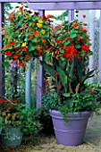 HANGING BASKET OF MIXED TROPAEOLUMS & PURPLE CONTAINER WITH CANNA ASSAUT & SALVIA COCCINEA LADY IN RED IN GARDENING WHICH/ MET. POLICE A SAFE HAVEN. HAMPTON 1999.