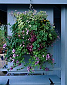 HANGING BASKET WITH PELARGONIUM LADY PLYMOUTH  NEMESIA CONFETTI   LOBELIA & BRACHYSCOME TINKERBELL. GARDENING WHICH/ MET. POLICE A SAFE HAVEN. HAMPTON 1999.