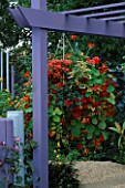 PURPLE TIMBER PERGOLA & HANGING BASKET OF  TROPAEOLUM HERMINE GRASHOFF & RED WONDER  PELARGONIUMS AND PETUNIAS. GARDENING WHICH/ MET. POLICE A SAFE HAVEN. HAMPTON 1999.