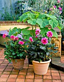 PATIO WITH TERRACOTTA CONTAINERS PLANTED WITH DAHLIA FASCINATION AND PIPERS PINK AND PAULOWNIA TOMENTOSA. THE NICHOLS GARDEN  READING