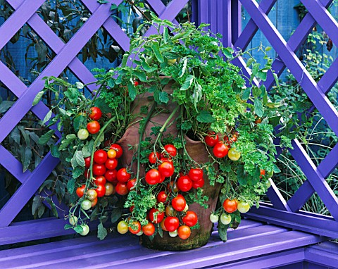 CONTAINER__TOMATO_TUMBLER_AND_PARSLEY_IN_TERRACOTTA_STRAWBERRY_POT_NICHOLS_GARDEN__READING