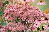PERENNIAL PLANTING BY CHRISTOPHER BRADLEY-HOLE: EUPATORIUM PURPUREUM ATROPURPUREUM AND ECHINACEA PURPUREA.