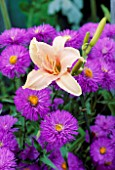 HEMEROCALLIS LUXURY LACE AND ERIGERON AZURE FAIRY. THE NICHOLS GARDEN  READING