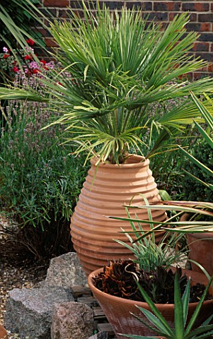 A_RIBBED_TURKISH_TERRACOTTA_CONTAINER_HOLDS_CHAMAEROPS_HUMILIS_IN_FRONT_A_LOWER_CONTAINER_HOLDS_ECHE