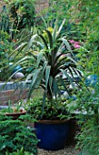 CORDYLINE AUSTRALIS IN COBALT CONTAINER SURROUNDED BY JASMINUM OFFICINALE AND PELARGONIUM GRAVEOLENS. ROBIN GREEN & RALPH CADES SEASIDE STYLE GARDEN  LONDON.