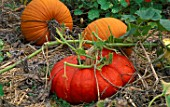 PUMPKINS ROUGE VIF DETAMPES AND RACER GROW IN THE VEGETABLE GARDEN OF BILL SMITH AND DENNIS SCHRADER  LONG ISLAND  USA
